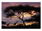 Fototapeet African safari 400x280 cm ED-88113