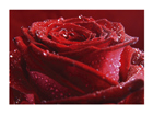 Fototapeet Proud red rose 400x280 cm ED-88128