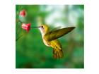 Fototapeet Yellow hummingbird 300x280 cm ED-89199